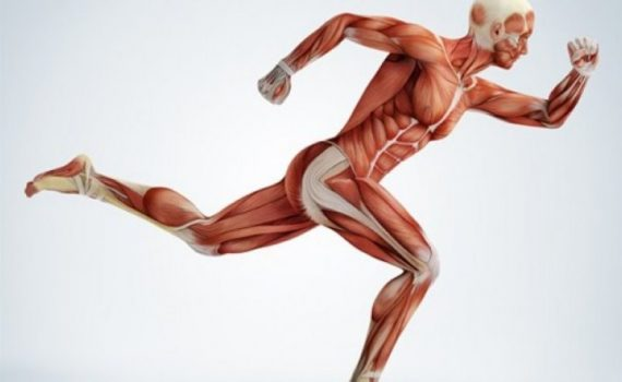 Los Músculos – Radiología & Salud