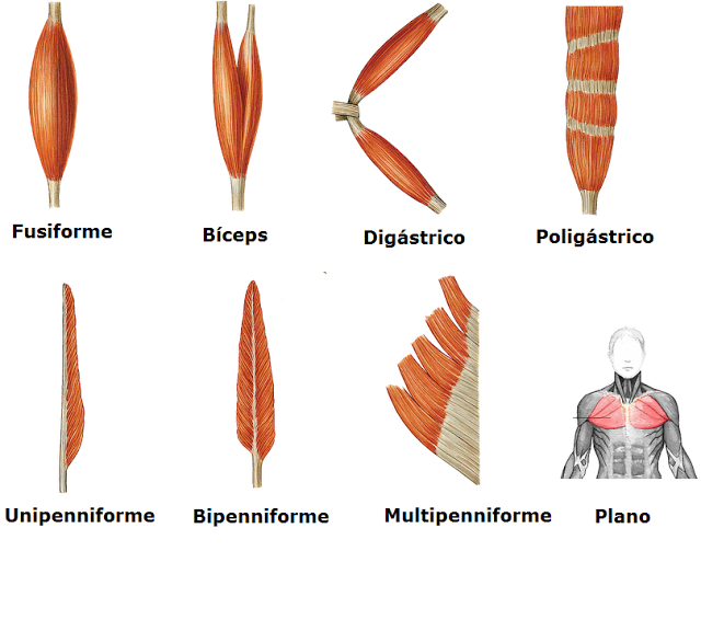 Tipos musculos