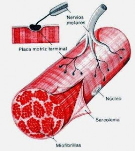 musculo.fascias1