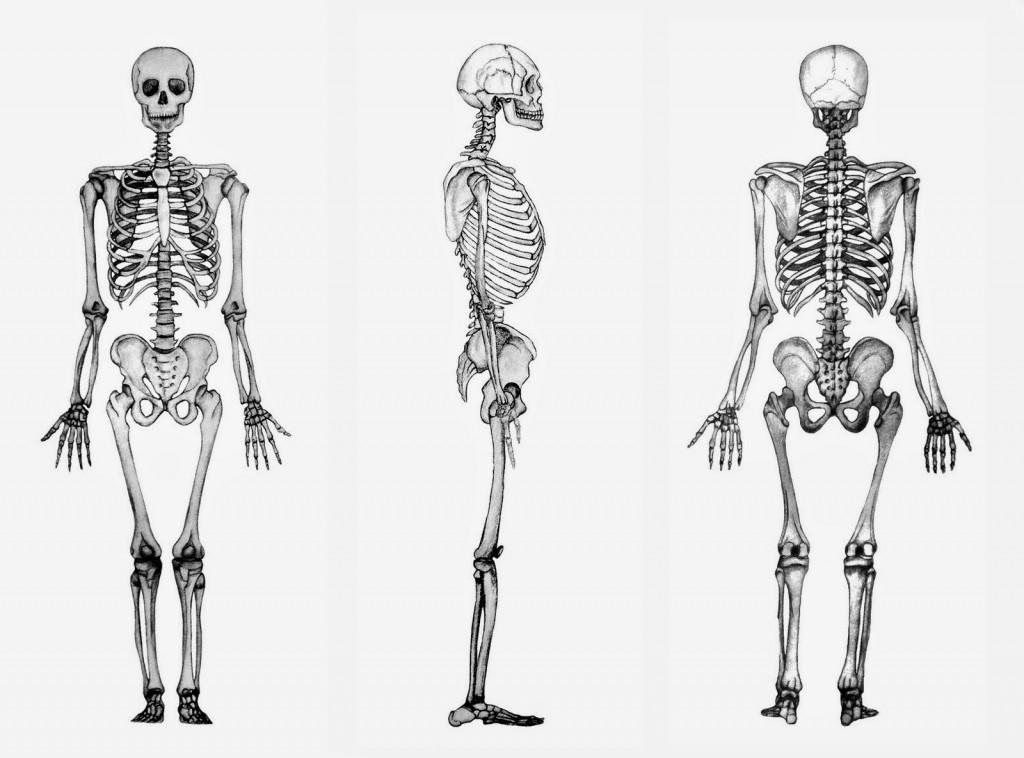 vista-esqueleto-humano