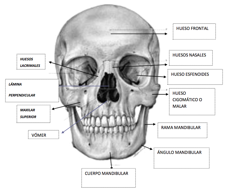 Anatomía del Craneo en Ap