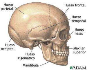 anatomia del cranel sagital