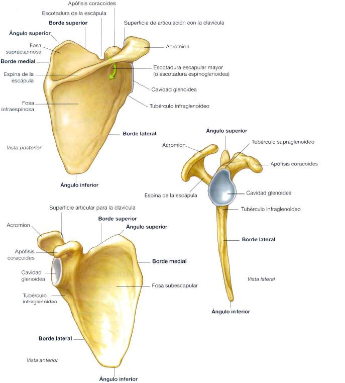 anatomia-de-la-escapula
