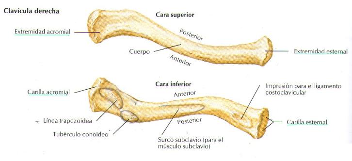 anatomia-de-la-claviculaclavicula