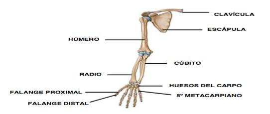 Cintura Escapular – Radiología & Salud