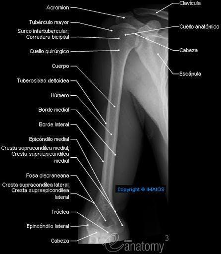 Anatomía Radiológica del Brazo – Radiología & Salud
